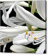 White Agapantha Canvas Print