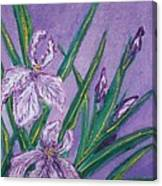 White And Mauve   Irises Canvas Print