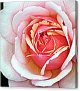 White And Pink Canvas Print