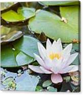 White And Pink Water Lily Canvas Print