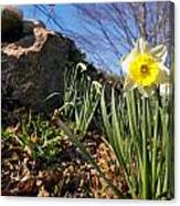 White And Yellow Daffodil Flower Canvas Print