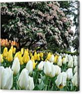 White And Yellow Tulips Canvas Print