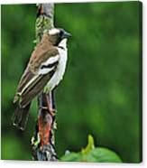 White-browed Sparrow-weaver Canvas Print