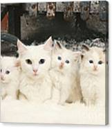 White Cats Canvas Print