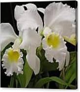 White Cattleyas Canvas Print