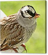 White Crowned Sparrow II Canvas Print