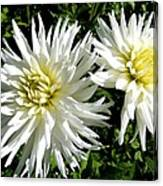 White Dahlias In Autumn  Canvas Print