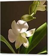White Dendrobium 2 Canvas Print