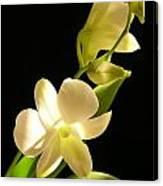 White Dendrobium Canvas Print