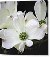 White Dogwood Blossoms Canvas Print