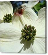 White Dogwood Flowers Art Prints Floral Canvas Print