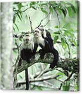White-faced Capuchins Canvas Print