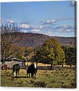 White Faced Cattle In Autumn Canvas Print