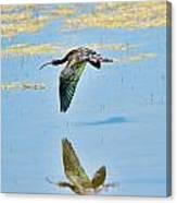 White Faced Ibis In Flight Canvas Print