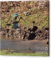 White-faced Ibis Mating Behavior In Early Spring Canvas Print