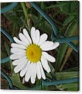 White Flower On The Fence Canvas Print