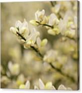 White Fragrant Flower Close Up Canvas Print