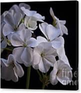 White Geranium Canvas Print