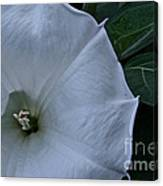 White Glory Canvas Print