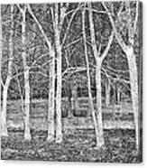 White Grove Canvas Print