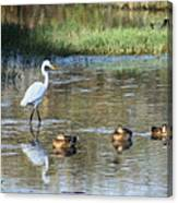 White Heron And Baby Ducks Canvas Print
