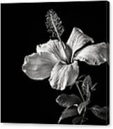 White Hibiscus Inn Black And White Canvas Print