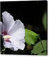 White Hibiscus Canvas Print