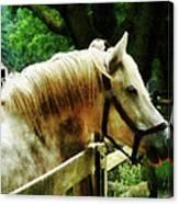 White Horse Closeup Canvas Print