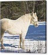 White Horse In Winter Maine Canvas Print