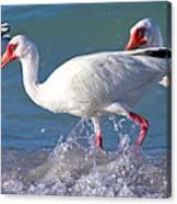 White Ibis On The Shore Canvas Print