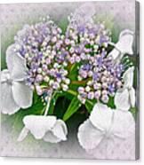 White Lace Cap Hydrangea Blossoms Canvas Print