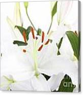 White Lilies And Background Canvas Print