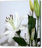 White Lily With Buds Canvas Print