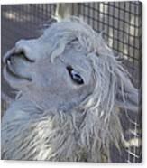 White Llama Canvas Print