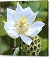 White Lotus Flower  Canvas Print
