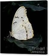 White Morpho Canvas Print