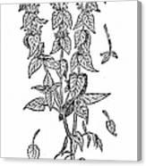 White Nettle Canvas Print