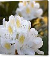 White Rhododendron Bloom Canvas Print