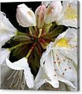 White Rhododendron Blooms  Canvas Print