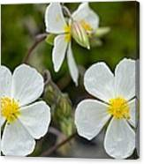 White Rock-rose (helianthemum Apenninum) Canvas Print
