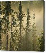 White Spruce In Mist At Sunrise Canvas Print