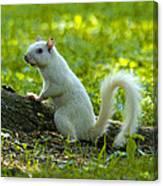 White Squirrel Canvas Print