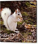 White Squirrel With Peanut Canvas Print
