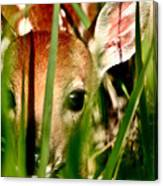 White Tailed Deer Fawn Hiding In Grass Canvas Print