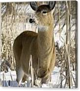 White-tailed Deer In A Snow-covered Canvas Print