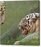White Tiger Growling At Her Mate Canvas Print
