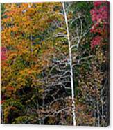 White Tree Fall Colors  Canvas Print