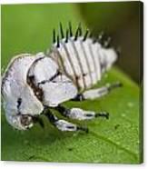 White Treehopper Nymph Canvas Print