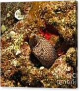 Whitemouth Moray - Hawaii Canvas Print