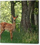 Whitetail Deer Fawn Canvas Print
